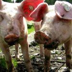 Streichelzoo: Almschweine