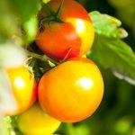 Bio-Tomaten aus dem hauseigenen Kräutergarten