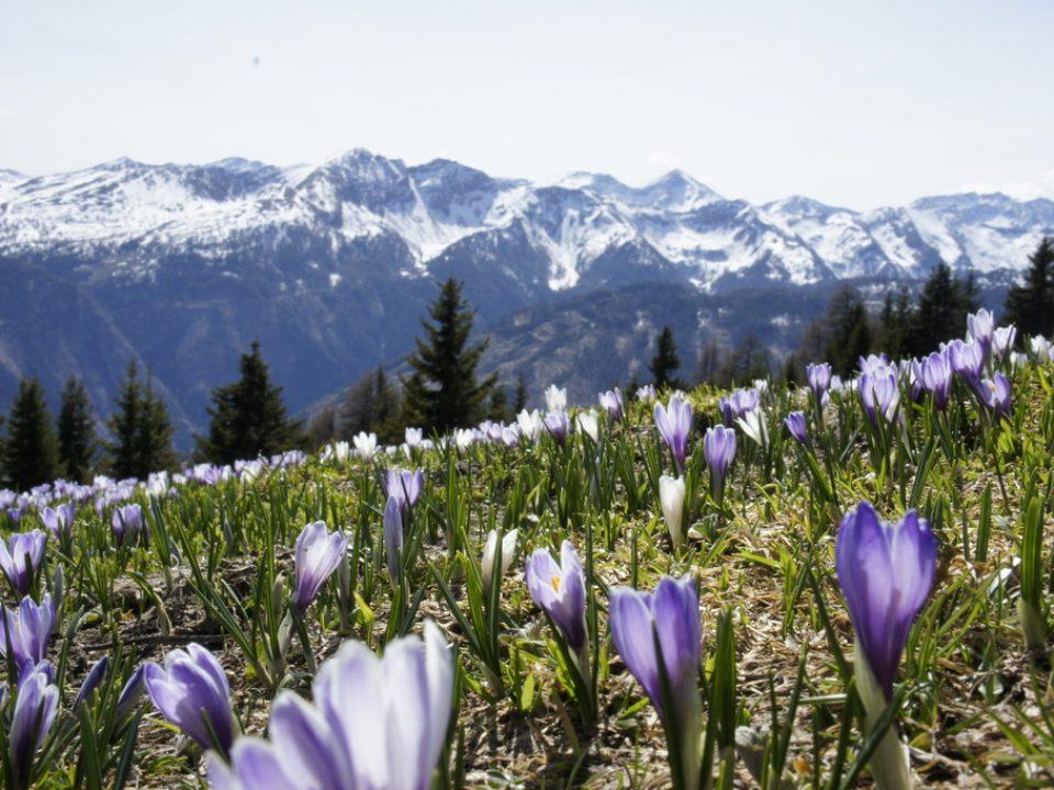 Krokuswiese am Speiereck - Lyn @mein.salzburg.com
