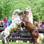 Fuchs und Tiger im Zweikampf