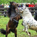 Mit den unbeschlagenen Hufen wird nach dem Rivalen getreten