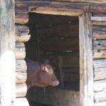 Ein Kalb im Stall auf der Rottenhofhütte