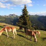 Haflingerpferde - treue Wegbegleiter unterwegs beim Aufstieg.
