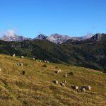"""Unzählige Schafe """"übersähen"""" die Almweiden der Henerbichlalm"""