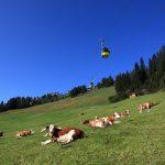 """Herrlich grün sind die Skipisten im Sommer. Kühe weiden auf der """"Familienabfahrt"""" unterhalb der Panoramabahn Großarltal"""