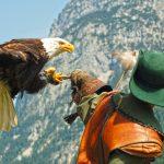 Falkner und Seeadler bleiben in Blickkontakt