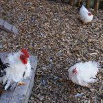 Hahn und Hühner sind echt