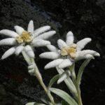Wohl die bekannteste unter den Alpenblumen - das Edelweiss