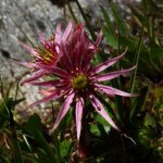 Berghauswurz - für mich eine der schönsten Alpenblumen