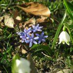 Blausternchen mit Fruehlingsknoten-Blume