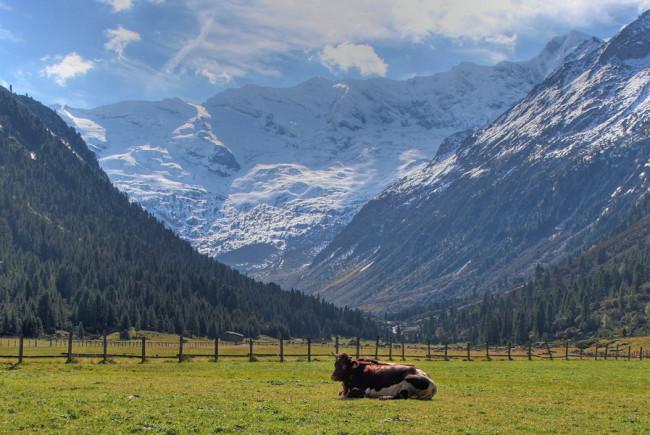 Die Kühe fressen ausschließlich Almkräuter und Almheu - die Grundlage für beste Milch- und Käsequalität.