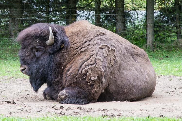 Friedlich schlummert der Bison in der Sommerhitze.