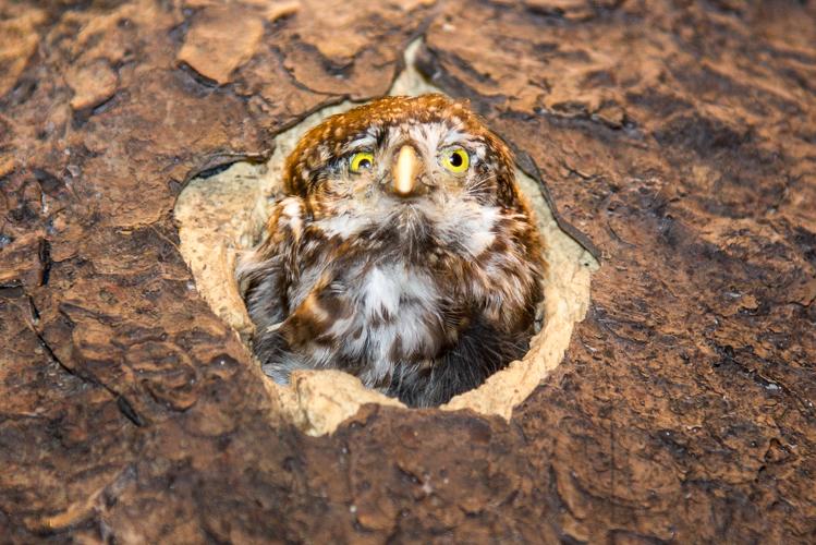 Der Sperlingskauz schaut aus seiner Baumhöhle.