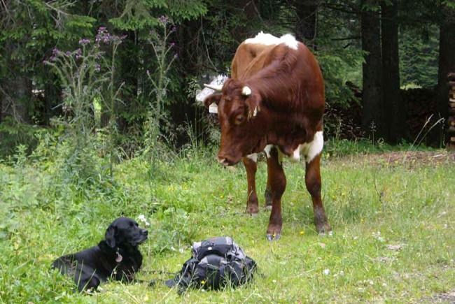 Ruhiger Hund ruhige Kuh