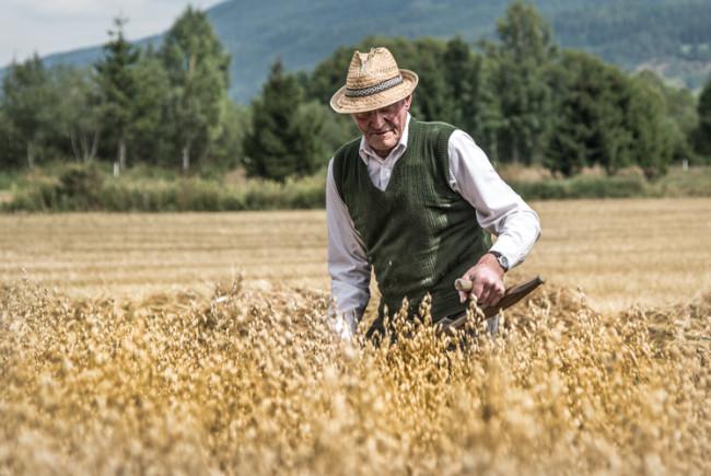Besondere Sorgfalt erfodert das Mähen des Korns.