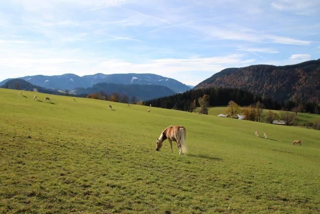 Im Winterquartier auf dem Winterstellgut: die Haflinger