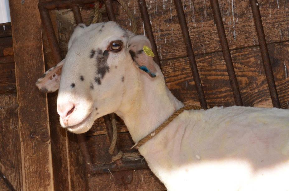 Zufriedenes Schaf nach getaner Arbeit.