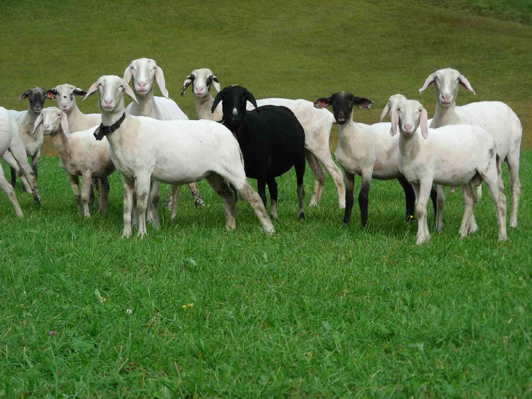 Gepflegte Schafe.