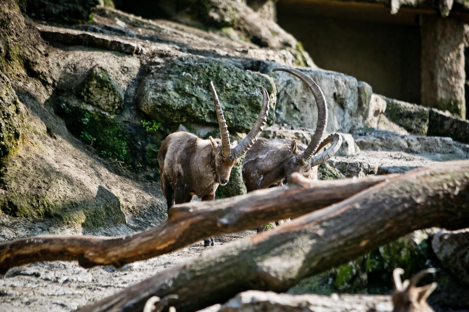 Die Alpensteinbock Männchen stellen ihre Prachtgeweihe zur Schau