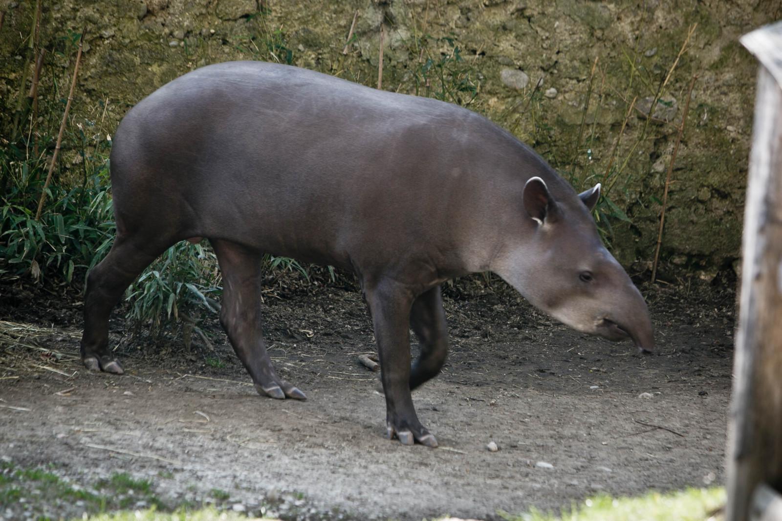Seine nächsten Verwandten sind die Nashörner und Pferde – der Flachlandtapir