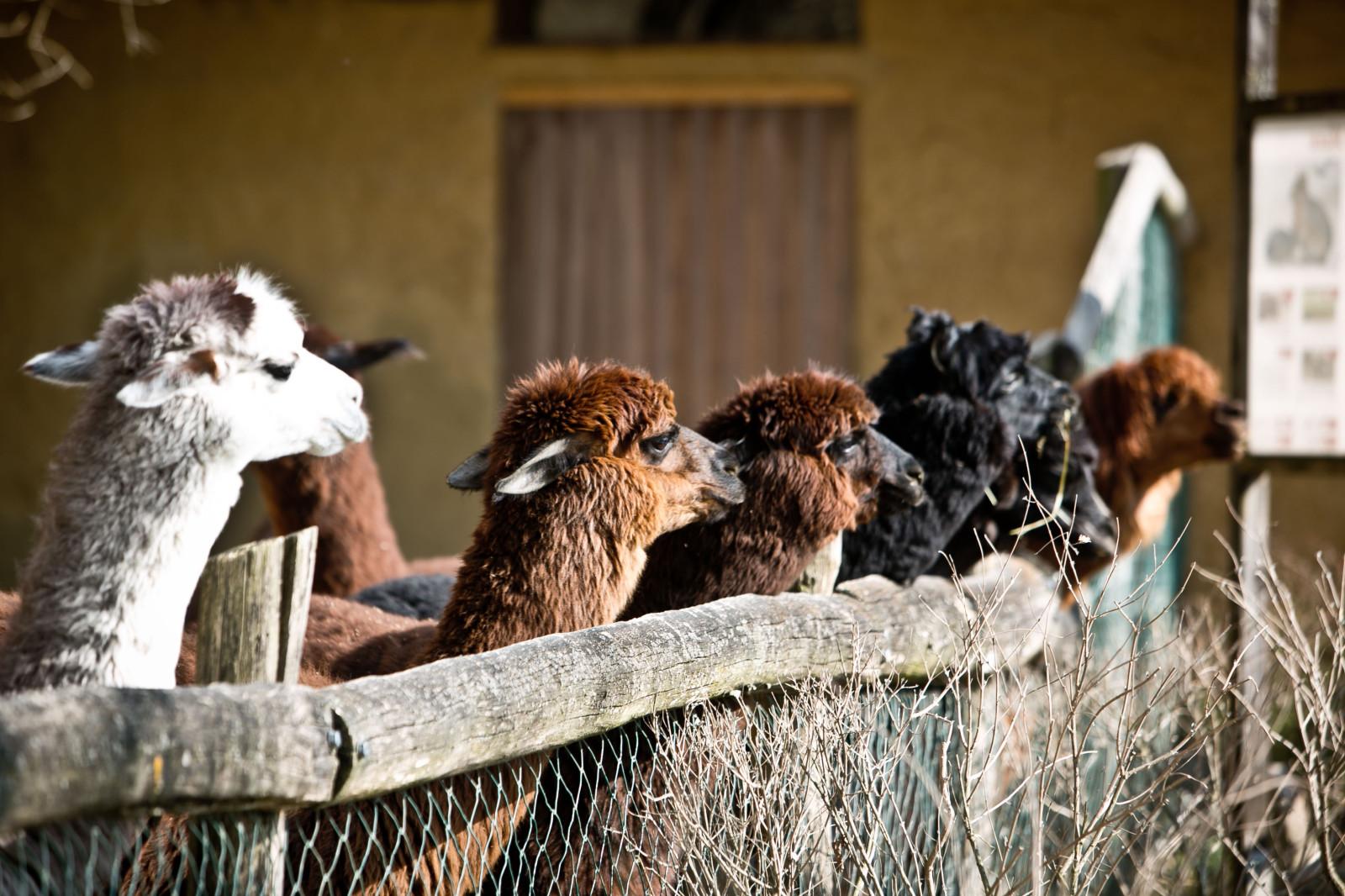 Bei den Inkas war ihre Wolle sehr beliebt – die Alpakas