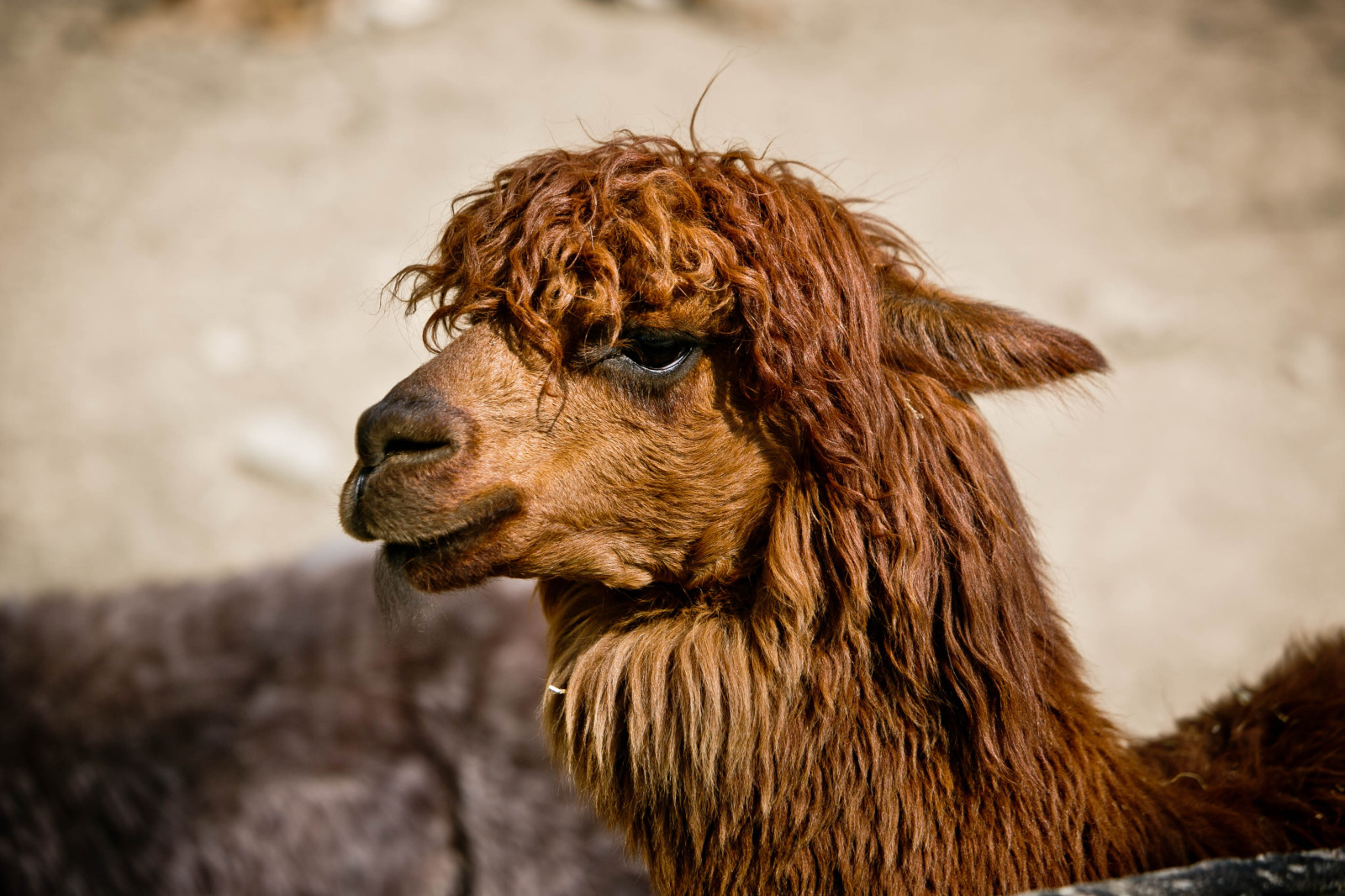 Stylisch im Zoo – die neuesten Haartrends im Alpaka Gehege