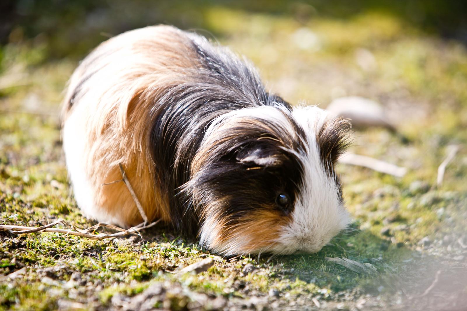 Auch Haustiere finden sich im Zoo – das Meerschweinchen