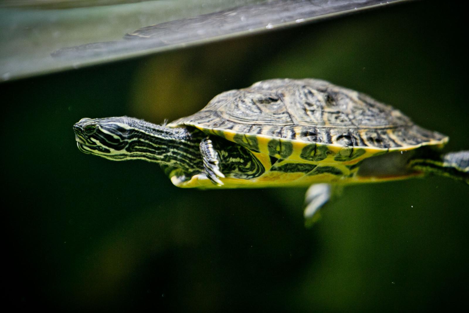 Die Gelbwangenschmuckschildkröte kann bis zu 85 Jahre alt werden