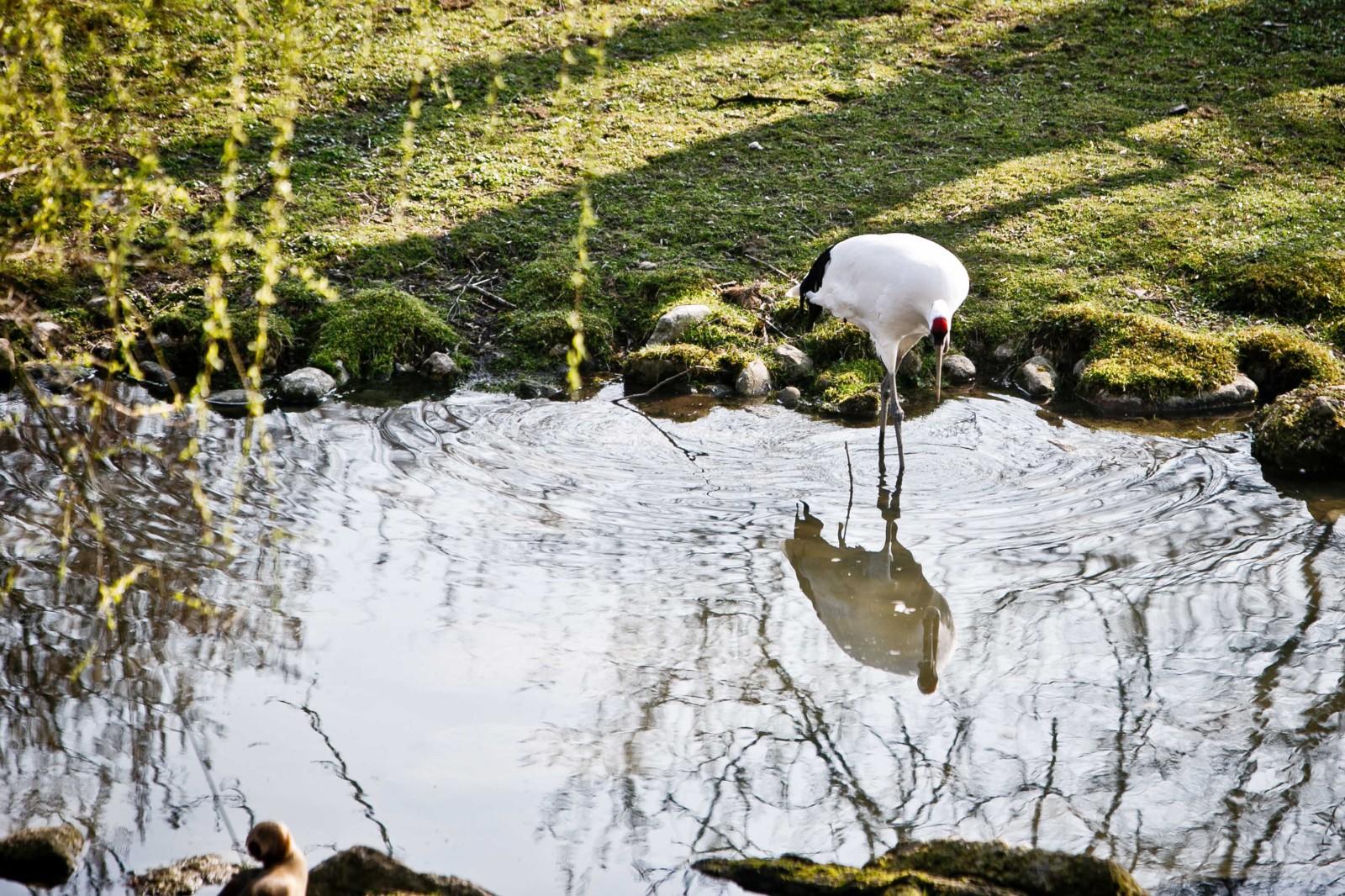 Der Weißstorch beim Plantschen im Teich