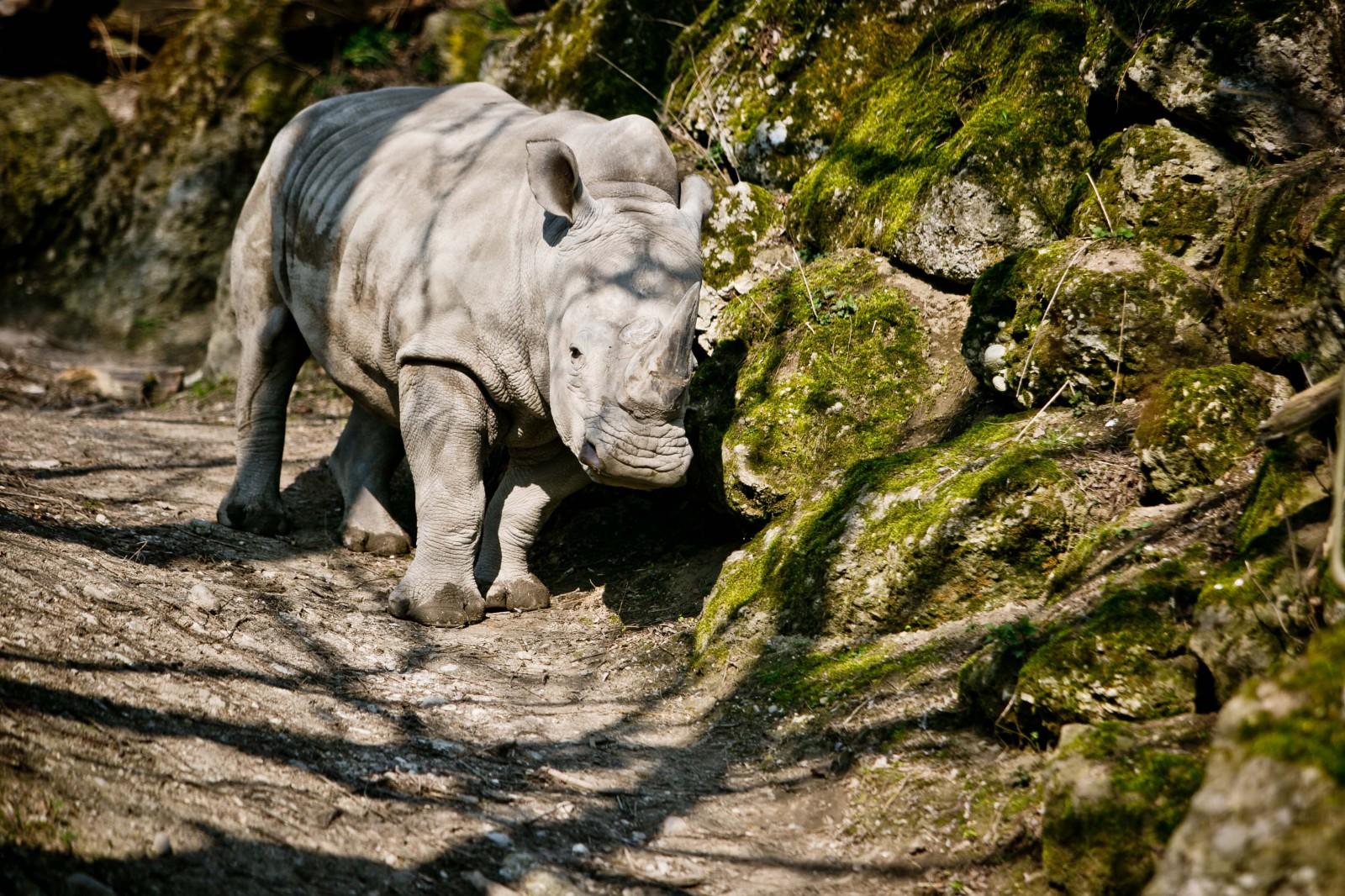 Neben dem Elefanten das größte Landsäugetier – das Breitmailnashorn
