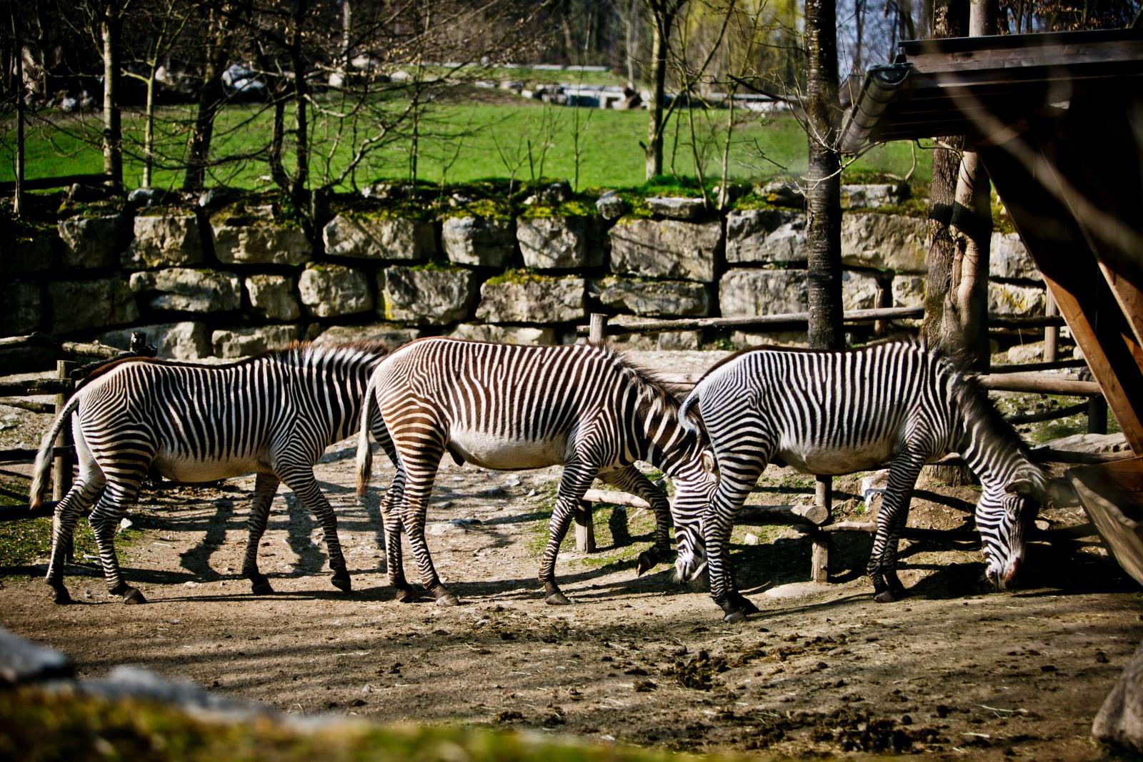 Das Muster dient ihnen untereinander zur Erkennung – das Grevy-Zebra