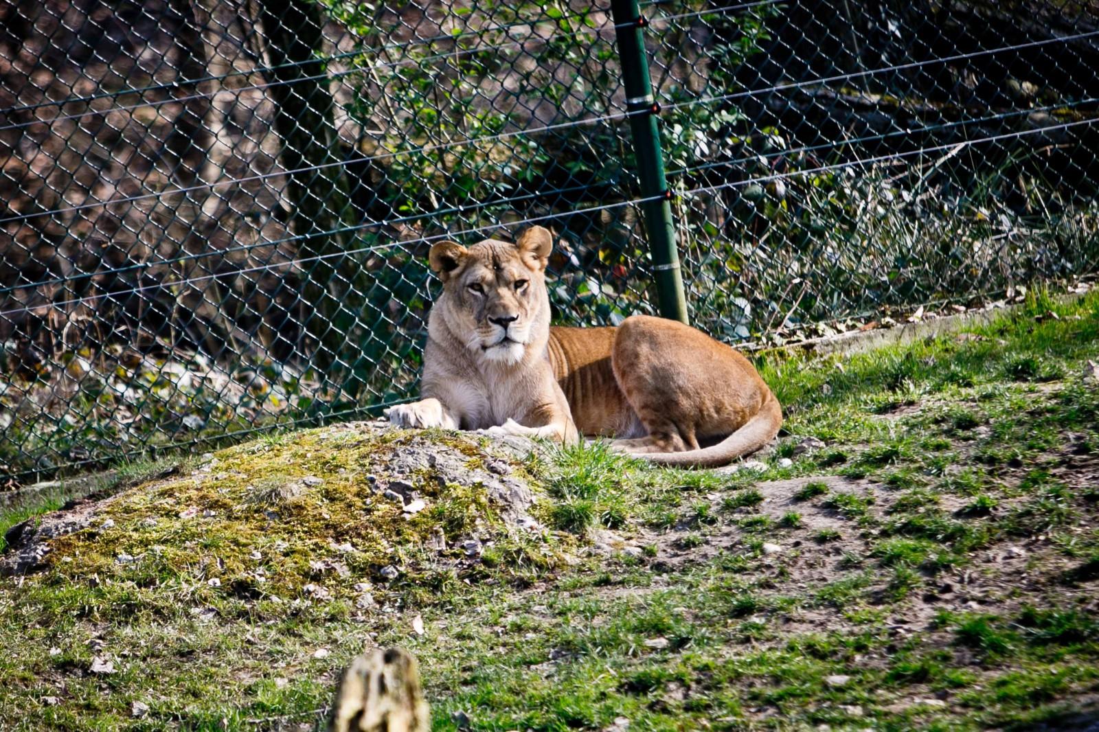 Die Könige der Wildnis – der afrikanische Löwe