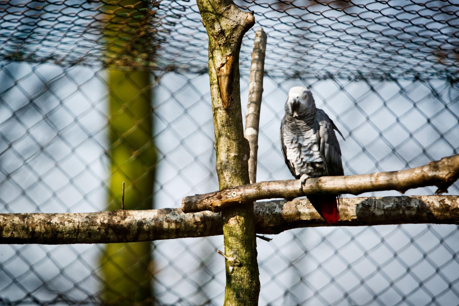 Geselliger Vogel – der Graupapagei