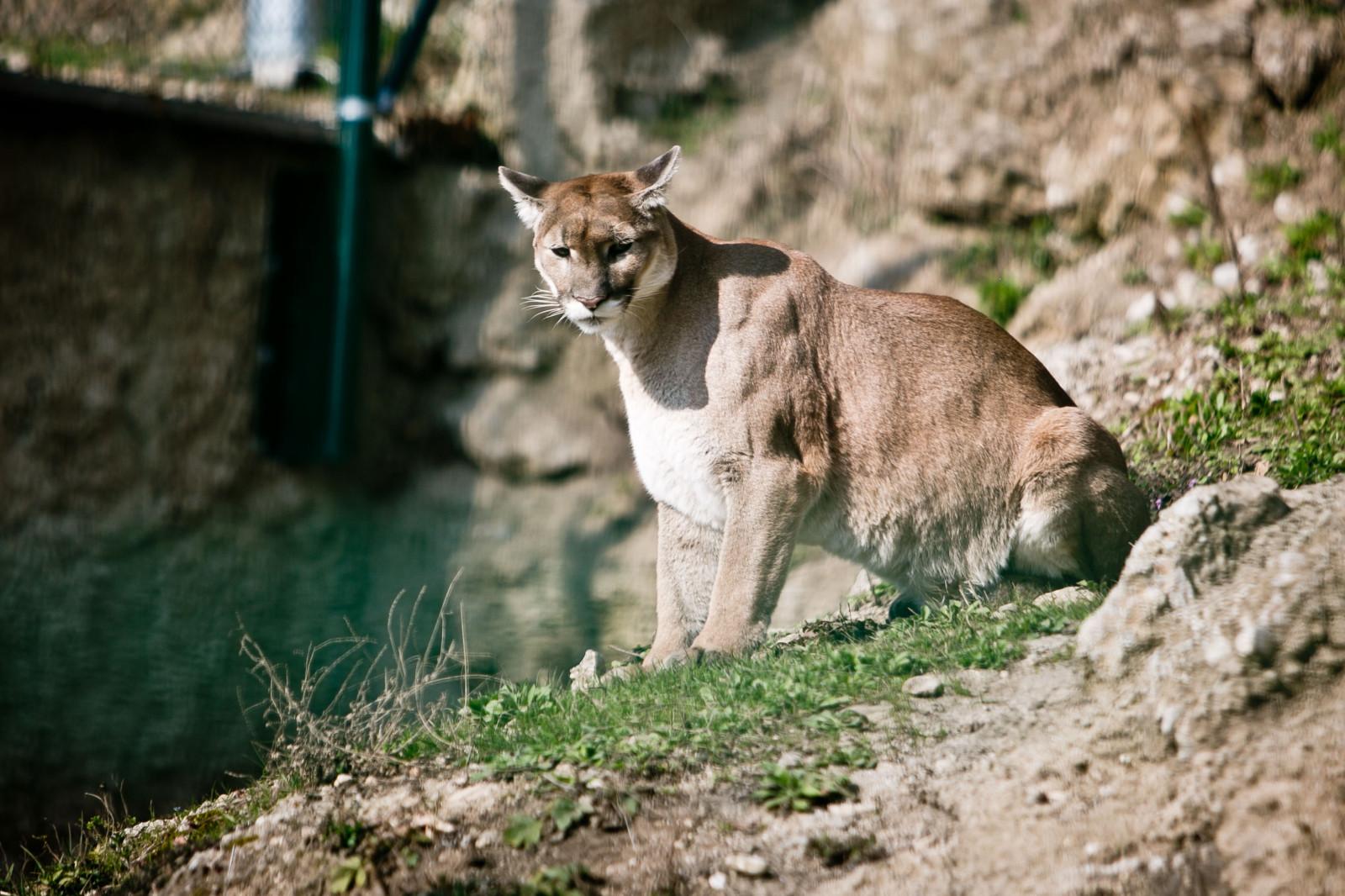 Gehört zu den Kleinkatzen – der Puma