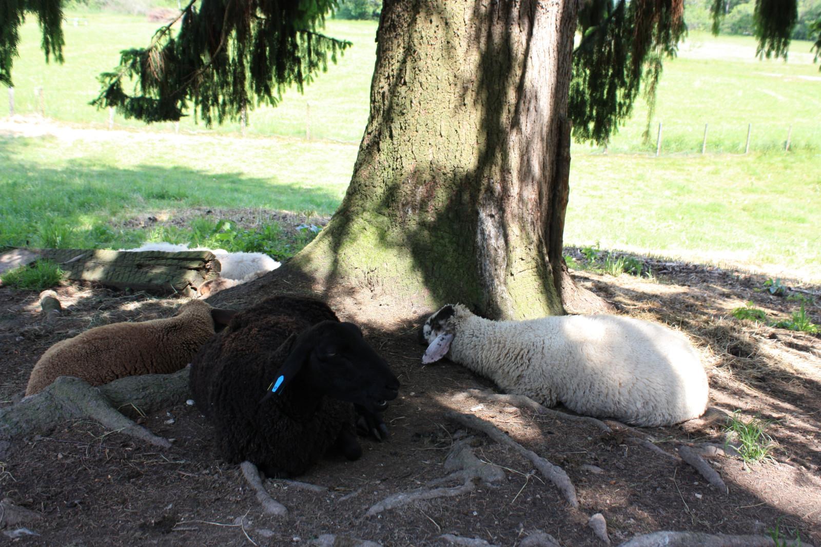 Zwei sehr müde Schafe