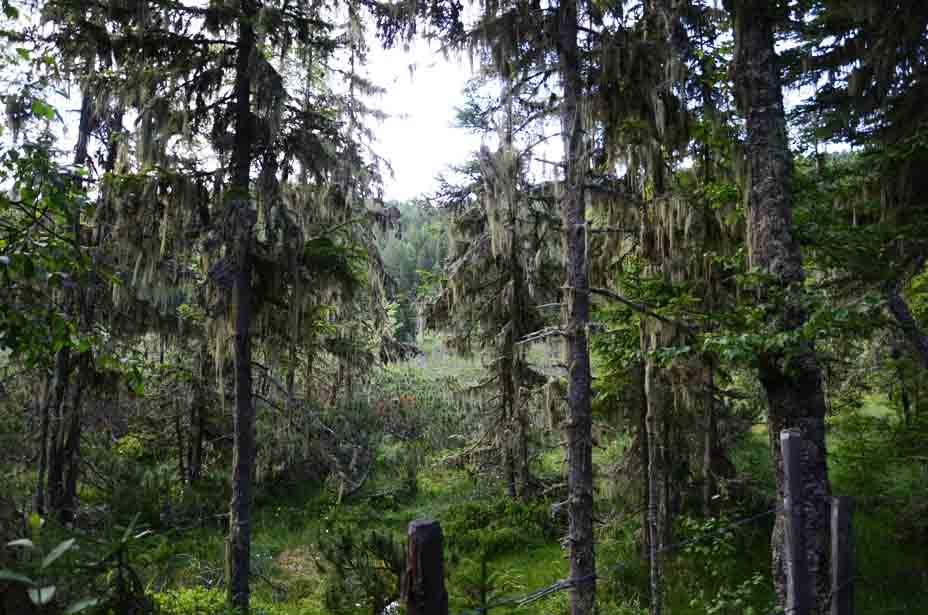Bartflechten hängen auf den Bäumen