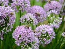 Blüten sind Nahrung für die Biene