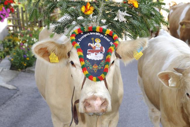 Almabtrieb beim Hiaslerbauer in St. Michael im Lungaueine aufgekranzte Kuh