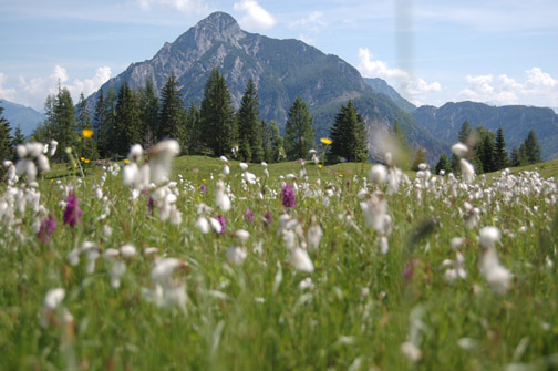 Wollgraswiese im Frühling