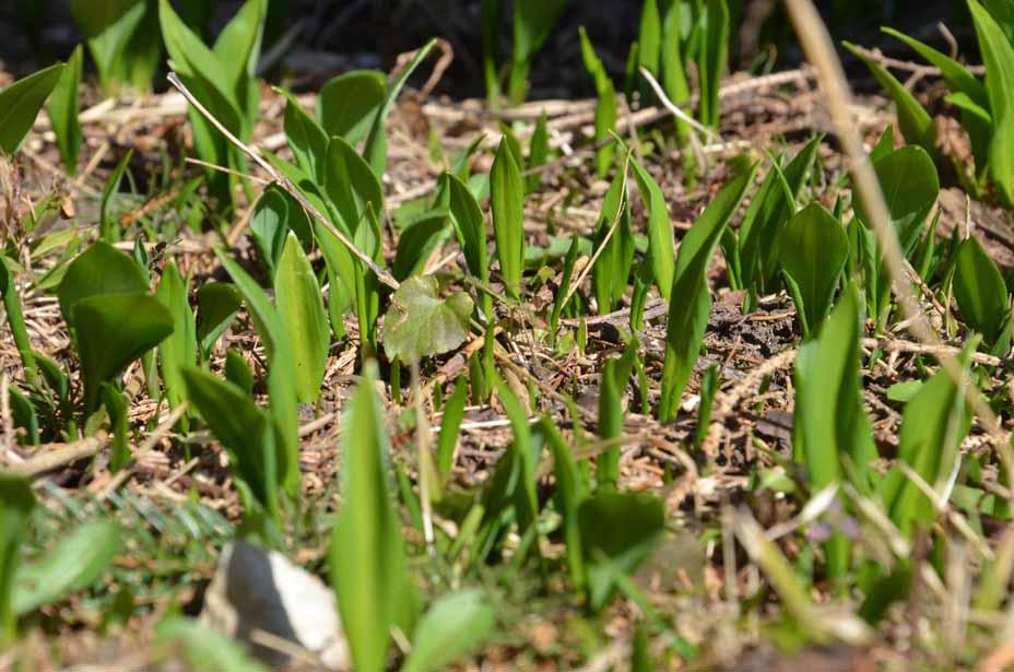 Unter Weiden sprießen oft Bärlauch, ...