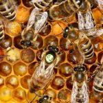 Bienen im Honigbienenschaukasten Bienenerlebnisweg Biodorf Seeham