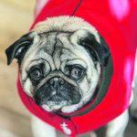 """m Hundemodeladen """"Mops Don Rocco"""" in Salzburg präsentiert sich Mops Tiffany im roten Leinen-Mäntelchen."""
