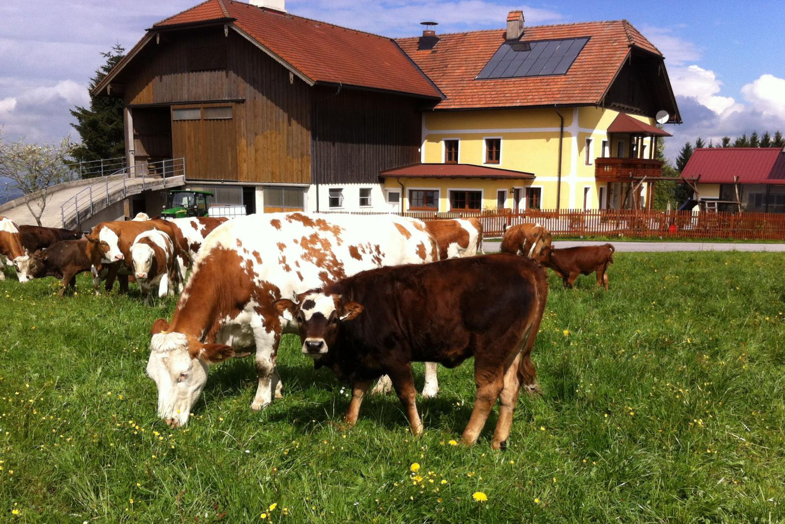 20 Kühe besitzen die Bauersleute.