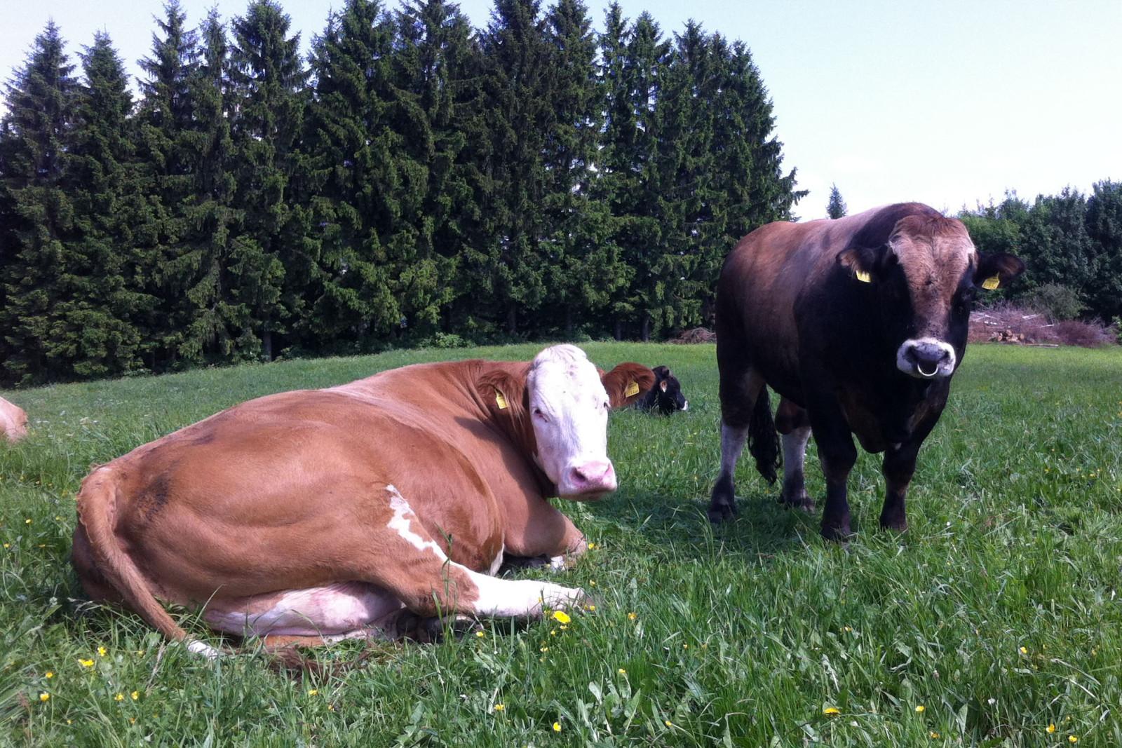 Der Aubrac-Stier mit seiner Kuh.