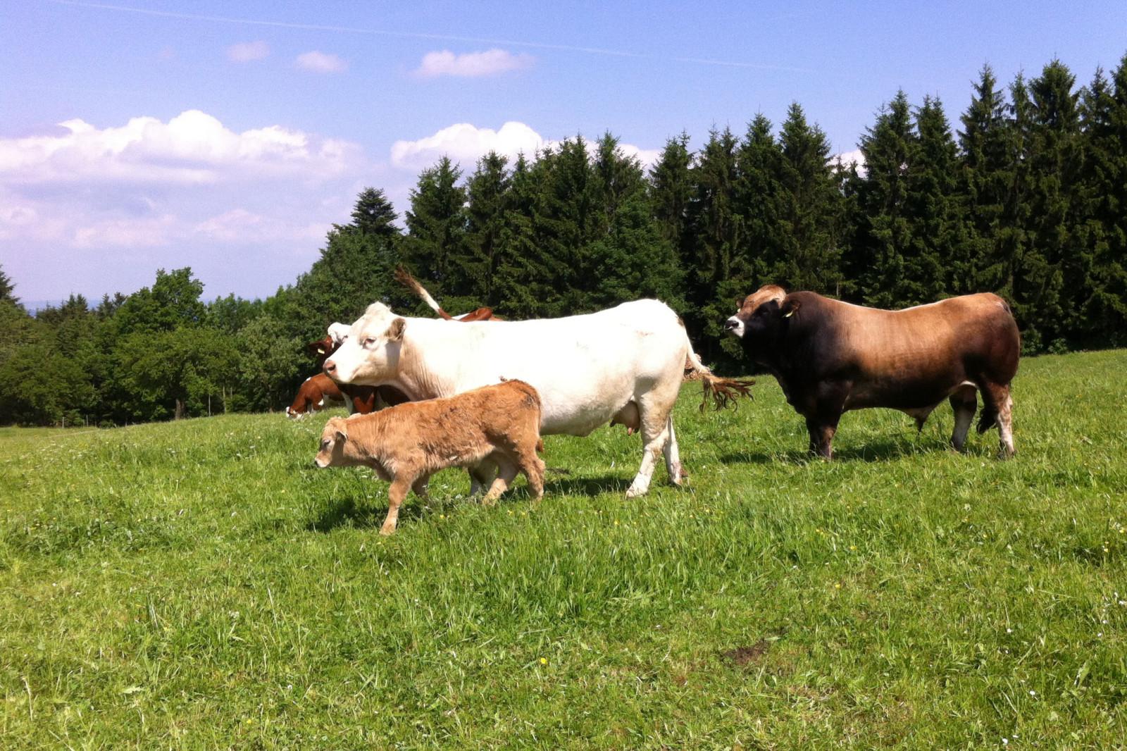 Im Sommer sind die Kühe auf den Wiesen.