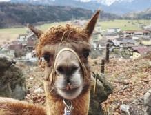Fühlt sich in die Stimmungslage den Menschen hinein: Das Alpaka. (c) Salzburgerland Alpakas