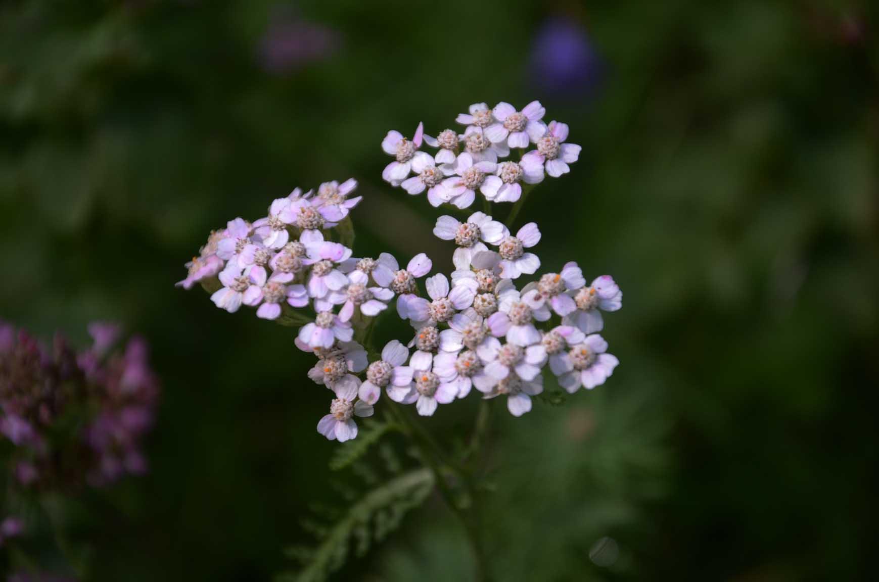 Schafgarbe mit vielen kleine Blüten