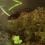 Ein Bergmolch im Amphibienbiotop.