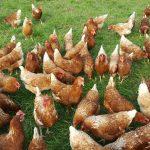 Glückliche Hühner Bio-Hühner von Nicole Leitner