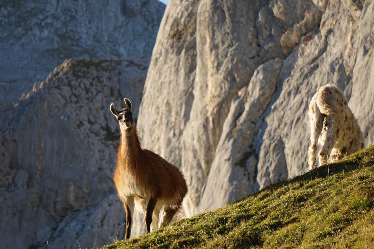 Zur Werfener Hütte kann man auch mit einer Lama Trekking Tour